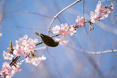 _DSC0716.jpg (plasticskin2001) Tags: mejiro sakura flower bird
