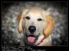 Golden Retriever - Odin -001 (__Viledevil__) Tags: golden retriever puppy odín odin mascota cachorro