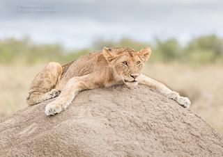 Lion Cub on Termite Mound - Panthera leo