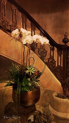 Orchids at the Stairway. Fairmont Copley Hotel, Boston. (peppermcc) Tags: