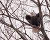 I've Got Wings! (Oliver Leveritt) Tags: americanbaldeage baldeagle eagle bird lockdam14 leclaire iowa nikond610 sigma150600mmf563dgoshsm|s oliverleverittphotography sigma150600
