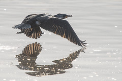 Catching The Light......... (klythawk) Tags: cormorant phalacrocoraxcarbo sunlight reflection spray inflight wildlife nature grey brown gold orange black white nikon d500 300mmpf attenboroughnaturereserve wildlifetrust nottingham klythawk