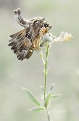 carcharodus alceae (Josep M.Toset) Tags: animalia arthropoda catalunya concadebarbera d800 flors fulles hesperiidae insectes josepmtoset lepidòpter macro nikon papallones plantes nikon60mm28