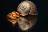 Nuts and snail (Xtraphoto) Tags: photoart art black reflection spiegel spiegelung mirror walnuss nuss schnecke snail nuts