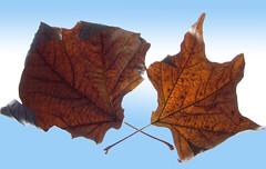 The Fallen (Ellsasha) Tags: leaves brown blues nature foliage veins gradient backlighting