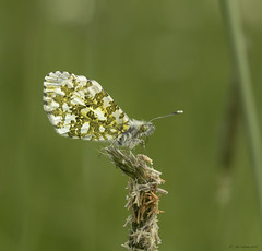 Orange tip (f) (adecoleman) Tags: insects butterflies nature wildlife countryside orangetip female priorycountrypark bedfordshire lepidoptera green brown white summer spring light background closeup