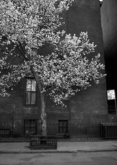Brooklyn Heights (Salvo.do) Tags: tree black white monochrome grey urban street photography pentax ricoh imaging k5 new york manhattan brooklyn heights
