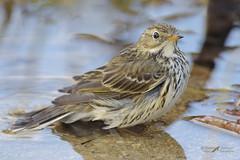 Pispola_Anthus pratensis (mauro.santucci) Tags: pispola anthuspratensis passeriforme uccelli uccello bird avifauna natura birdwatching wildlife ngc