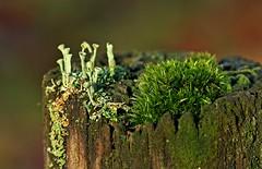 Lichen Cladoniaceae (Sybalan,) Tags: nature plantlife lichen scotland agyll benmore benmoregardens arachnids greens post winter outdoors cowal