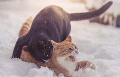 Kill Teddy! (Tracey Rennie) Tags: ted murdo snow playing boys fun winter cat aaaaaargh littledoglaughedstories ginger tuxedo