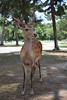 鹿 - Deer (Hachimaki123) Tags: 日本 japan nara 奈良 鹿 動物 animal deer ciervo cervusnippon