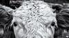 Have a Look... (Ody on the mount) Tags: anlässe augen details dolomiten em5ii kalb landwirtschaft mzuiko1250 nahaufnahme omd olympus südtirol tiere urlaub wanderung animals bw eyes monochrome sw