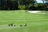 Ducks and their ducklings cross the fairway (Ladies European Tour) Tags: canberra act australia aus
