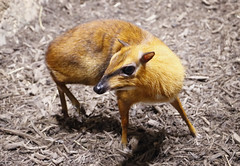 Greater Mouse-deer (greyloch) Tags: zoolights animal greatermousedeer deer small tiny 2017 smithsonian nationalzoo zoo washingtondc canonrebelt6s niksoftware