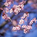Purple Leaf Plum blossoms thumbnail