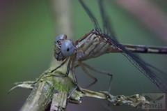 Agriogomphus sp. ( BlezSP) Tags: agriogompus gomphidae neotropical rainforest perú
