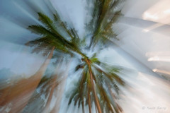 Royal Palms (Kevin B Photo) Tags: kevinbarry royalpalms northmiamiflorida horizontal tall abstract blur motion movement south southern usa america nature