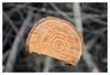 Broken circles (leo.roos) Tags: jaarringen growthrings tree boom branch tak a7rii meyerhelioplan4045 1954 m42 darosa leoroos