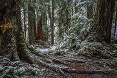 Not Finished Yet (writing with light 2422 (Not Pro)) Tags: forest snow washingtonstate hiking richborder sonya7 landscape