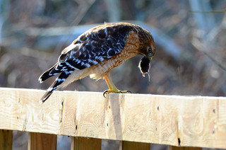 Red-Shouldered Hawk Feast