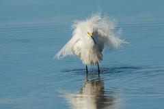 A whole lotta fluff (ChicagoBob46) Tags: snowyegret egret bird florida jndingdarlingnwr sanibel sanibelisland nature wildlife ngc coth5 npc specanimalphotooftheday
