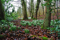 Snowdrop Meadow (eric robb niven) Tags: ericrobbniven scotland dundee dunkeld clunie perthshire cycling snow snowdrop winterspring flowers