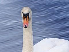 Ireland_Lough Key_07 (Mikeyob) Tags: loughkey ireland swans