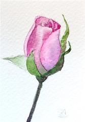 """Pink Rose"" (Sonia Aguiar (Mallorca)) Tags: watercolor watercolour aquarell aquarelle acuarela aceo roseflower pinkrose"