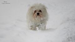 Lupo siberiano - Rimini - 27.02.2018 - Gianni Porcellini (Gianni Porcellini) Tags: lupo siberiano siberia cane bianco neve nevica feddo fuori allaperto