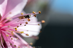 Among the Stamen (mslabrat13) Tags: hbw insect bug bokeh macro 7dwf stamen peachblossom march flowers pink spring