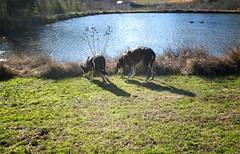 9/52 | absorbed (huckleberryblue) Tags: week9 52weeksfordogs nosheephereflickr geese dogs hound bluetickcoonhound gracie