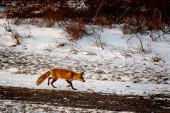 On The Move (jwfuqua-photography) Tags: fox wildlife nature pennsylvania jwfuquaphotography jerrywfuqua buckscountyparks buckscounty peacevalleynaturecenter