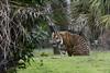 Malosi (Find The Apex) Tags: disney waltdisneyworld wdw disneyworld disneysanimalkingdom dak animalkingdom maharajahjungletrek sumatrantiger tiger malosi