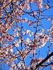 Ueno Onshi Park 上野恩賜公園 (: : Ys [waiz] : :) Tags: sony qx10 日本 japan 東京都 東京 tokyo 台東区 上野 pink cherry flowers 桜 park ジュウガツザクラ cerasus