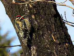 YBSA_2018 (Surfishrink) Tags: ybsa yellowbelliedsapsucker sphyrapicusvarius woodpecker blacksburg virginia