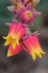Echeveria secunda Booth ex Lindl. (Syn. Echeveria pumila var. glauca (Bak.) Walther) - BG Meise