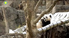 2018_01-20 (gkoo19681) Tags: beibei chubbycubby fuzzywuzzy adorableears treattime sugarcane brighteyed toofers soyummy sohappy loungeprince comfy toocute meltinghearts ccncby nationalzoo