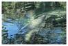 Blue Springs #5 2018; Manatees (hamsiksa) Tags: florida volusiacounty orangecity bluesprings bluespringsstatepark subtropicpeninsula january windriffles manatees sirenae water springs freshwater reflections refractions