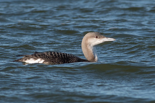 Black-throated Diver-122