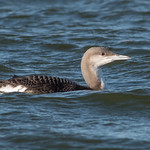 Black-throated Diver-122 thumbnail
