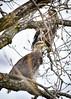 _DSC8533 Bald Eagles (Machalez (Dawn)) Tags: bald eagles kaw river kansas winter birds trees