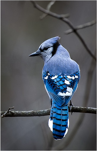 Blue Jay- by Chuck Hunnicutt - Award Class B Digital- January 2018
