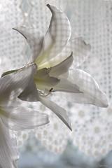 L'amaryllis caméléon (martine_ferron) Tags: fleur amaryllis fenêtre rideaux blanc