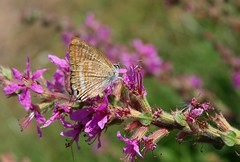 Lampides boeticus (J Carrasco (mundele)) Tags: coria extremadura insectos mariposas rhopalocera papilionoidea lycaenidae polyommatini lampides