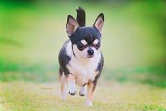 (patriciasilva7) Tags: chihuahua dog chien cutedog