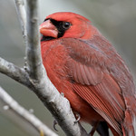Merritt Island National Wildlife Refuge -  Florida  cardinal bird thumbnail
