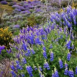 A Field of Brewer's Lupine (Yosemite National Park) thumbnail