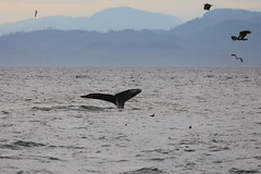 Somewhere in the Robson Bight Area, in the waters of Vancouver Island (Patrick Carpreau) Tags: canada hannelore lieselot patrick stubbsislandwhalewatching telegraphecove photoshopcc2018 sointula britishcolumbia ca whale whalewatching evening animal wildlife vancouver vancouverisland