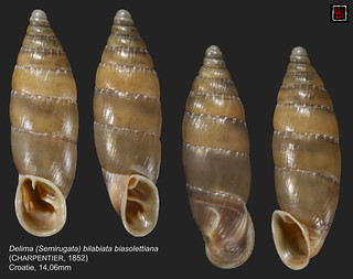 delima (semirugata) bilabiata biasolettiana croatie14mm06