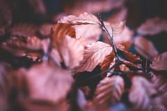 autumn beech I (CPbild) Tags: makro leaves beech nikon d700 autumn 100mm buche herbst nature outdoor blätter cpbild natur macro macrodreams